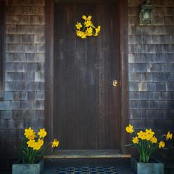 Nantucket daffodils