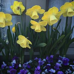 Avalon Daffodils