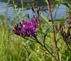 Ironweed, Common / Prairie