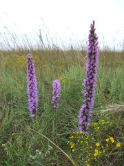 Blazing Star, Prairie