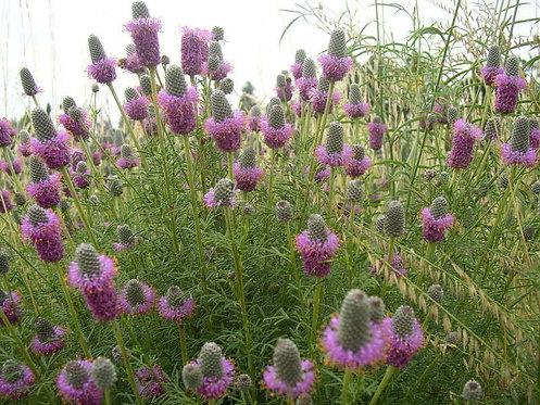 Prairie Clover, Purple