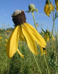 Coneflower, Yellow / Gray-Headed