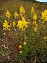Goldenrod, Showy