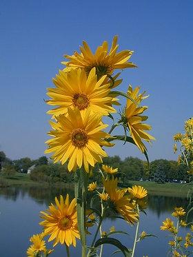 Sunflower, Maximillian