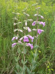 Large-Flowered Beardtongue