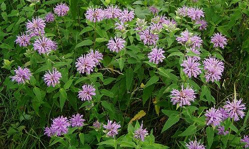Wild Bergamot / Bee Balm