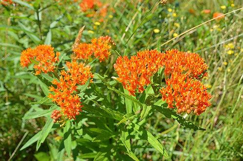 Milkweed, Butterfly