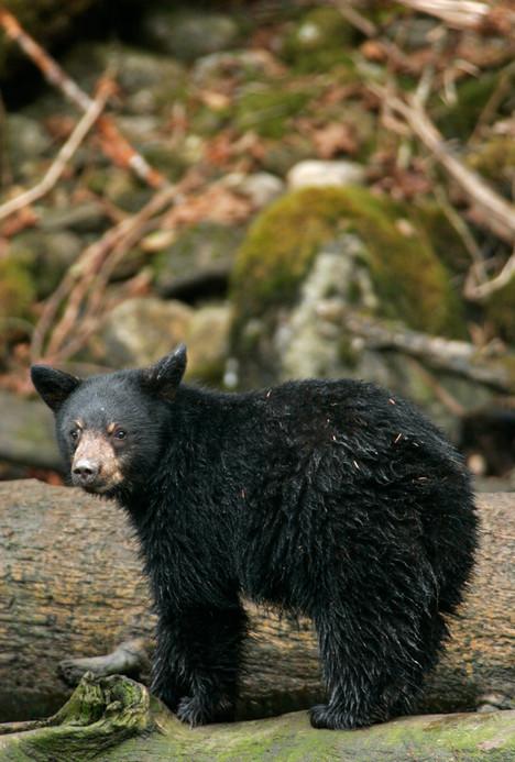 Spirit Bear Cub