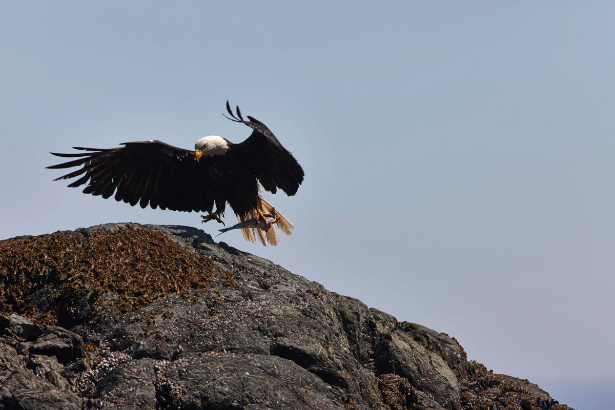 A Fight for Salmon   Bald Eagle