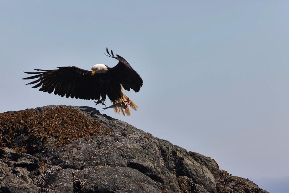 A Fight for Salmon   Bald Eagle