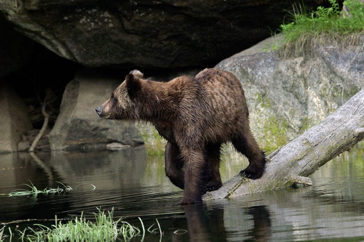 Grizzly Walking on Water