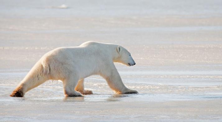 Dancing Bear  Churchill Manitoba