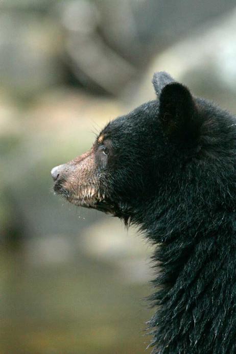 Baby Spirit Bear