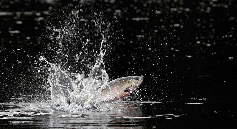 Salmon Run  Great Bear Rainforest