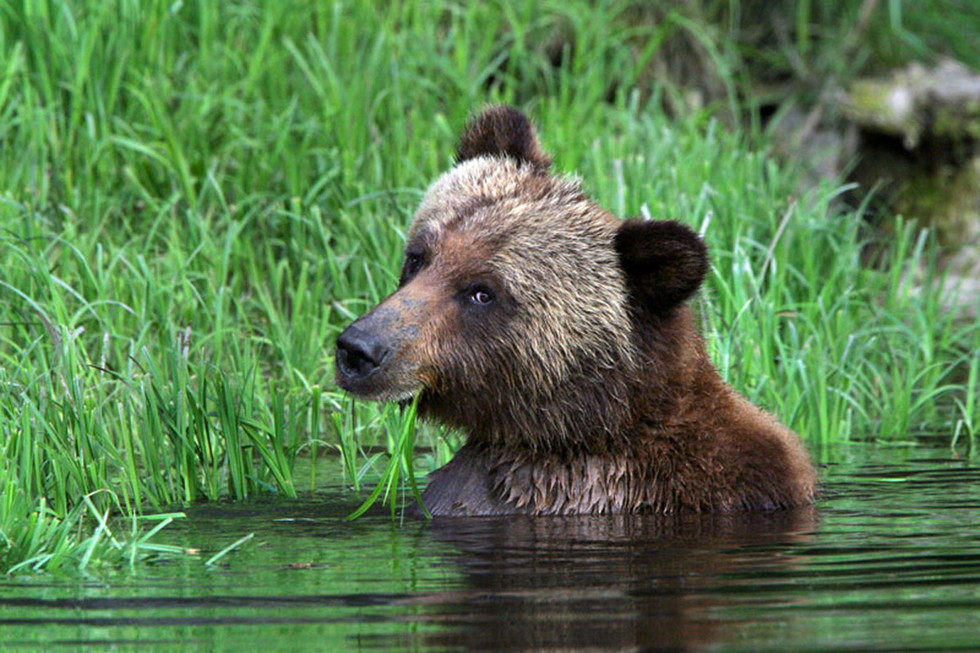Grizzly Bear Looking at the Camera