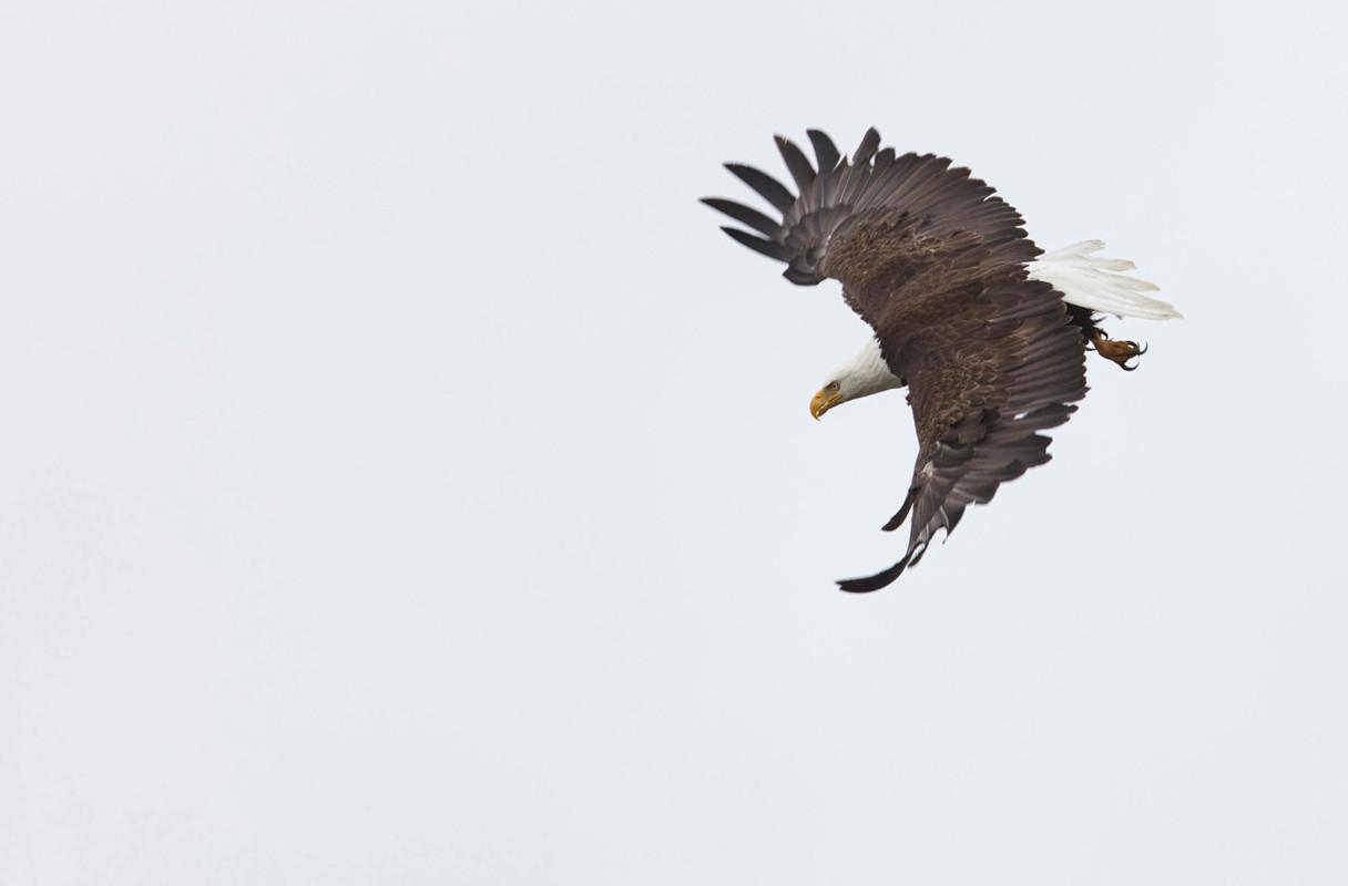 Circular Path  Bald Eagle