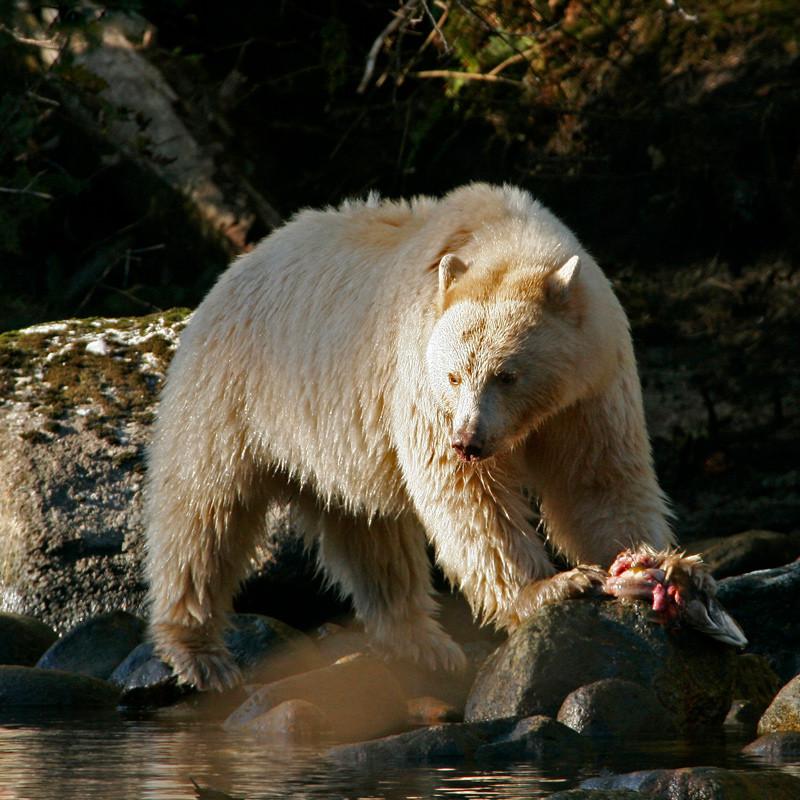 Spirit Bear eating fresh salmon catch