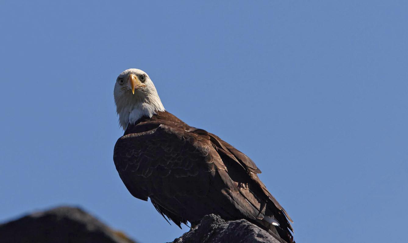 Focused  Bald Eagle