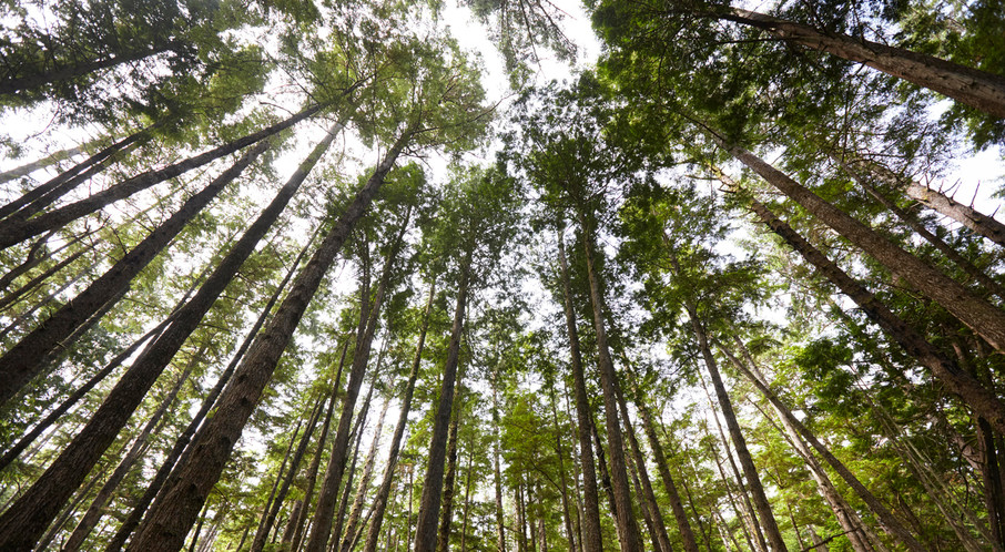 Canopy Love  Haida Gwaii