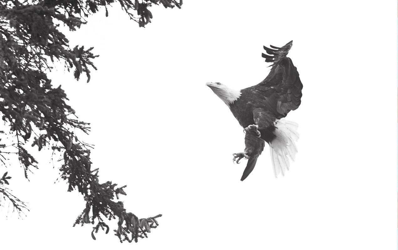 Landing  Bald Eagle