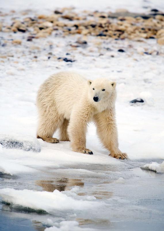 Cub Reflect  Churchill Manitoba
