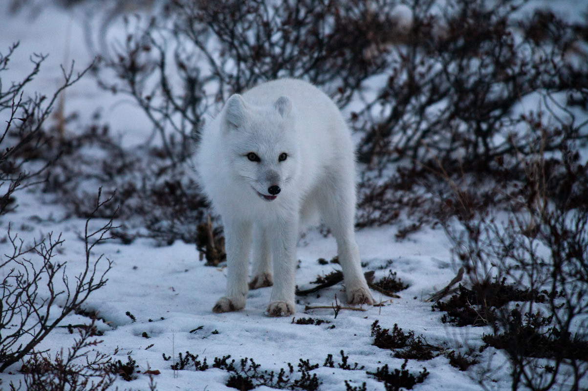 White Fox  Churchill Manitoba