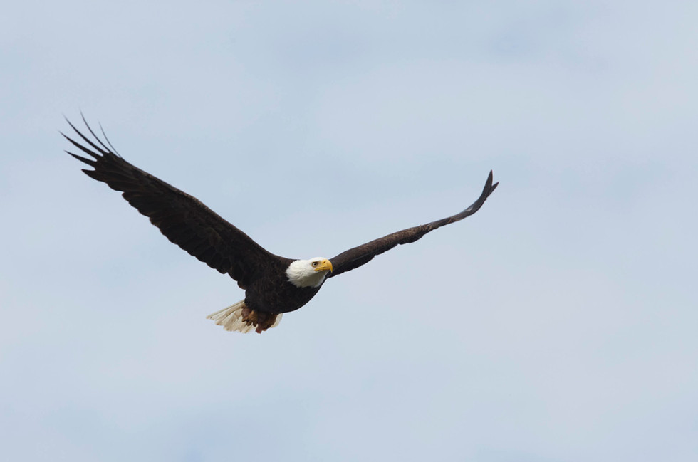 Eagle Eyes  Bald Eagle