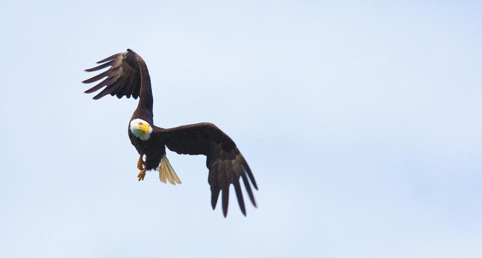 Graceful  Bald Eagle