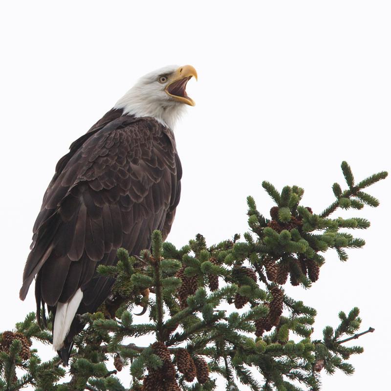 Minding the Nest  Bald Eagle