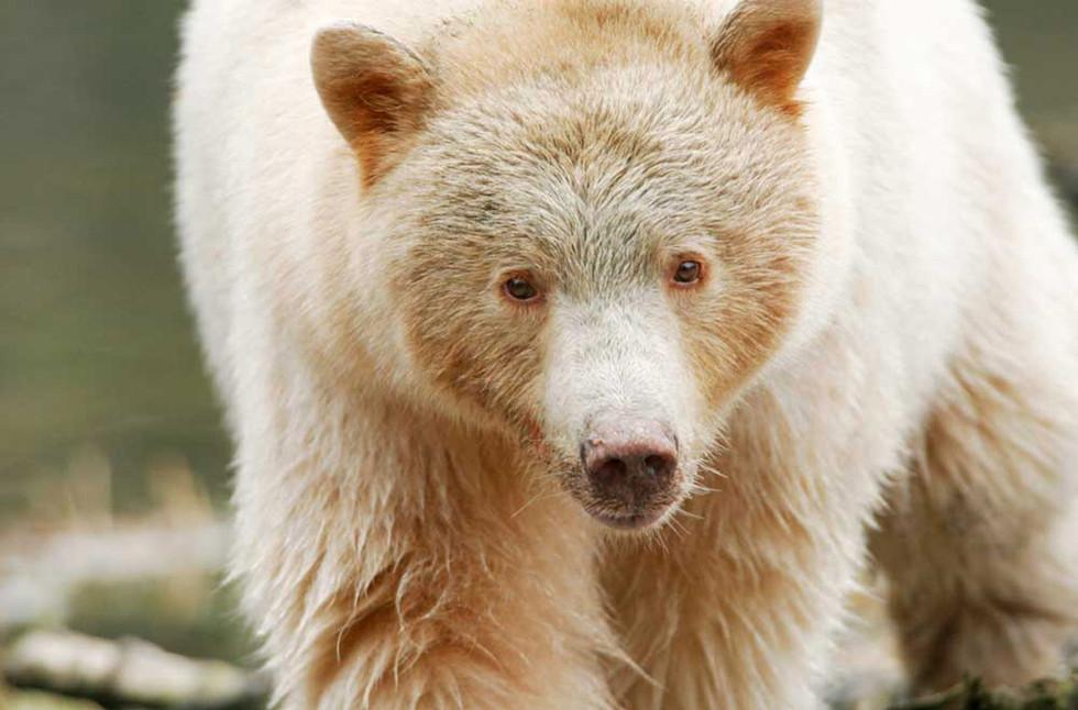 Spirit Bear GBR
