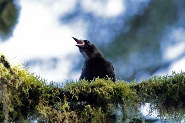 Raven The Creator