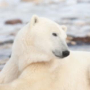 Polar-Bears-Marni-Grossman-Photography-s