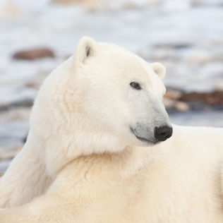 Polar-Bears-Marni-Grossman-Photography-s