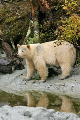 Spirit Bear Beauty