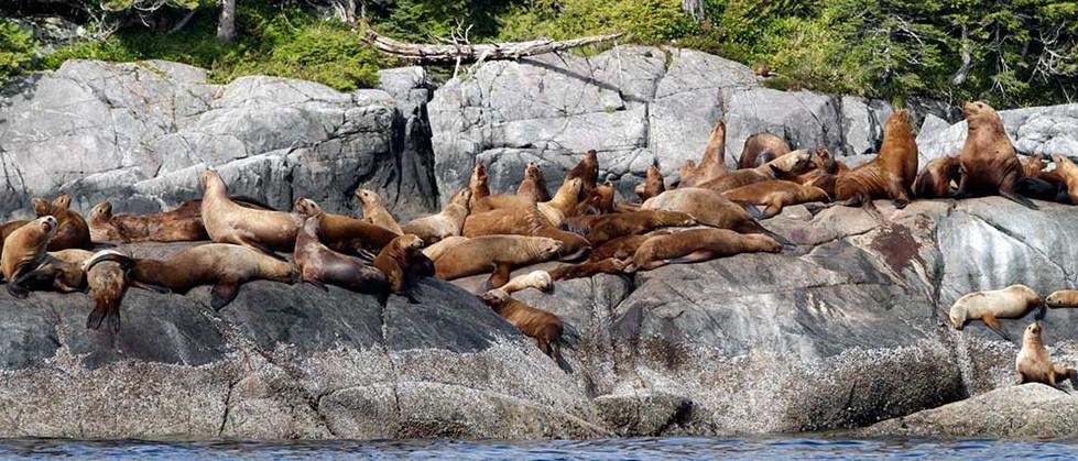 Sunbathing Family of Sealions