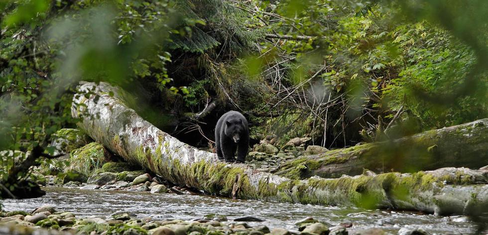 Black Bear on Log  Great Bear Rainforest