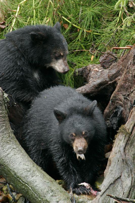 Two Spirit Bear Cubs
