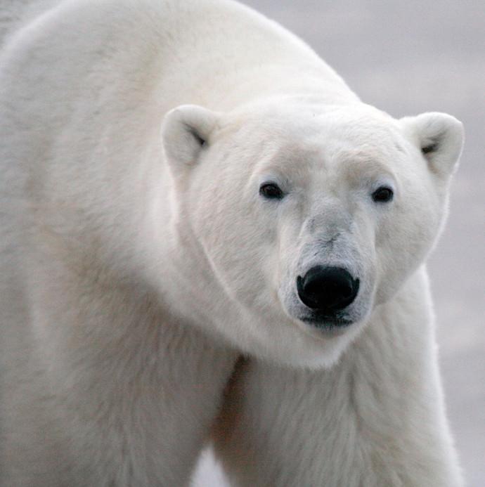 Polar Bear Face  Churchill Manitoba