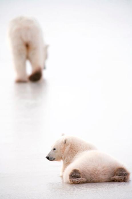 Cutest Cub Feet  Churchill Manitoba