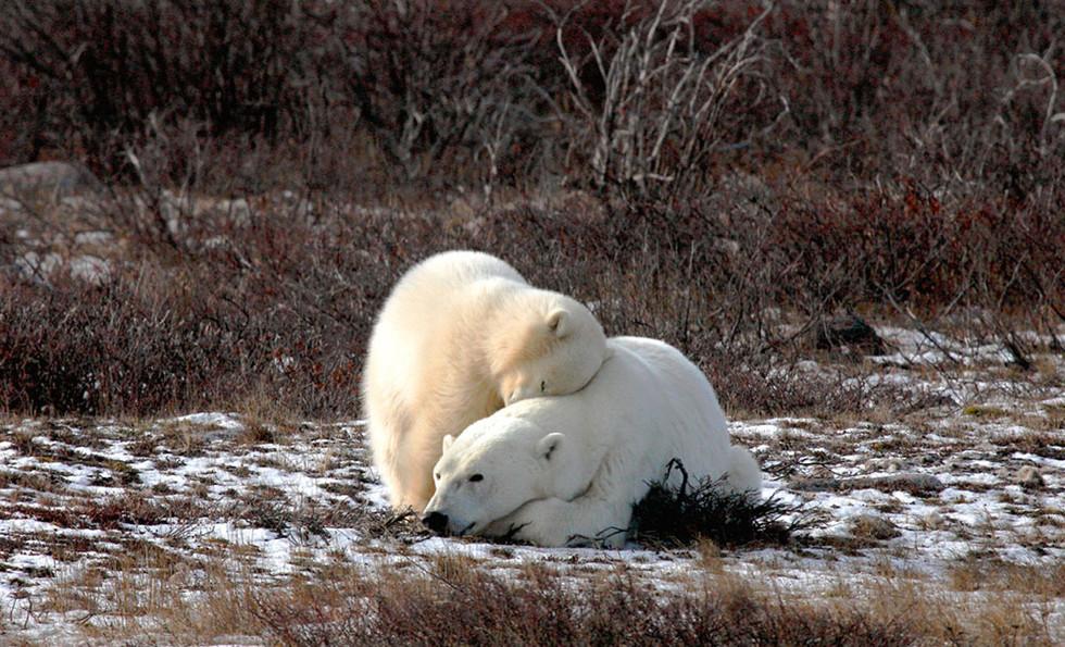 Snuggle  Churchill Manitoba