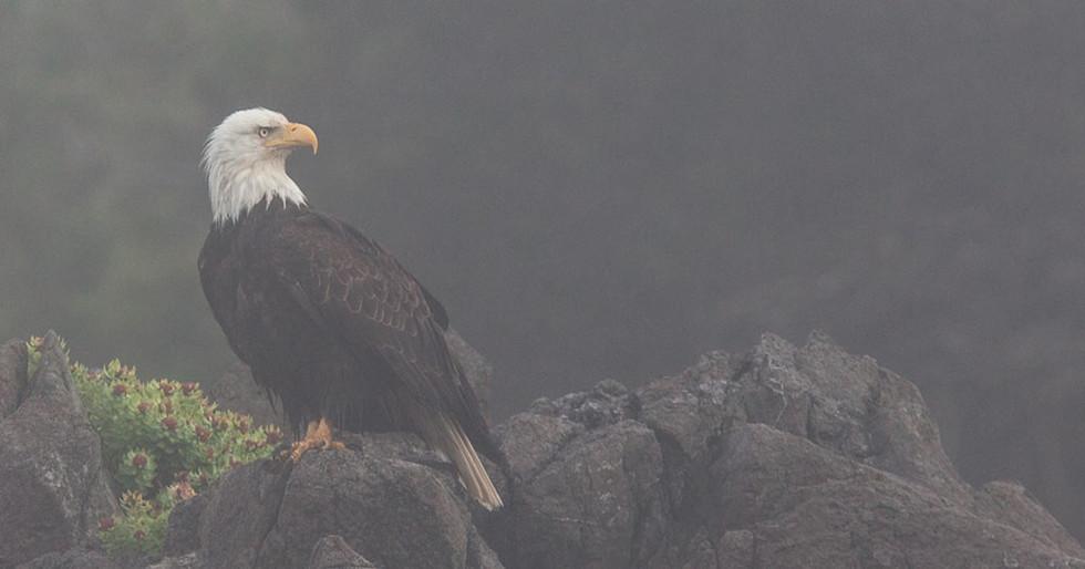 Bald and Beautiful  Bald Eagle