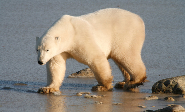 On the Prowl  Churchill Manitoba