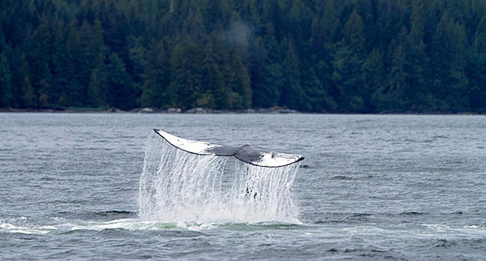 Fluke  Great Bear Rainforest