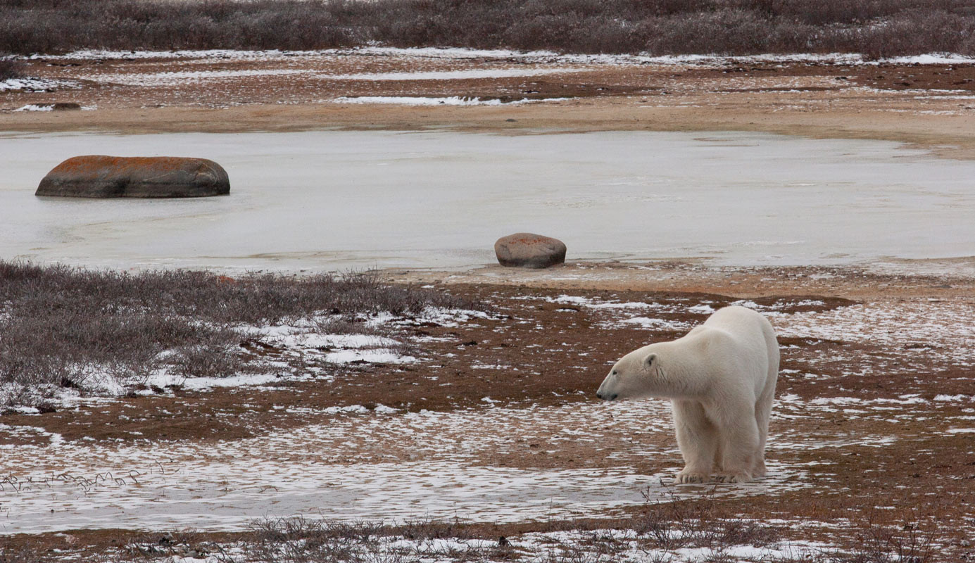 Polar Bear Tundra  Churchill Manitoba