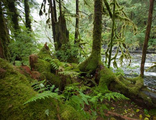 Fern and Moss  Great Bear Rainforest