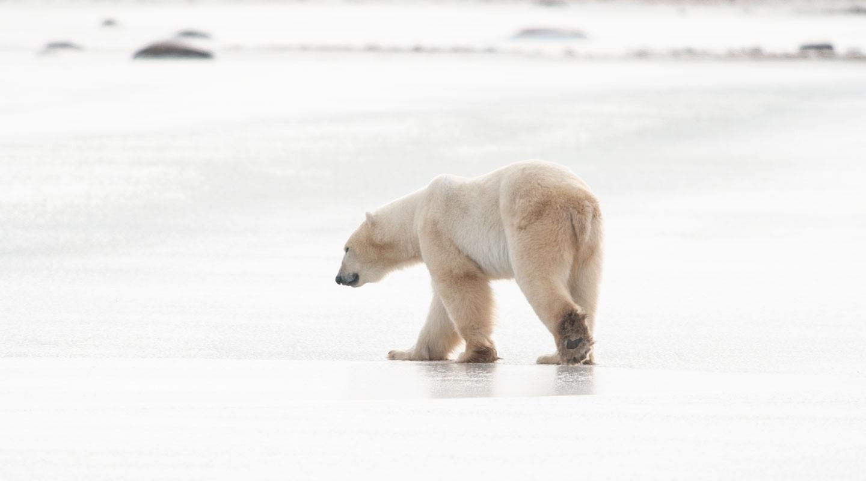 Walking on Ice  Churchill Manitoba