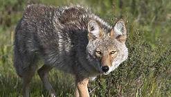 Buckner Custom Calls Predator Calls, Coyote Calls, Rabbit Squealers