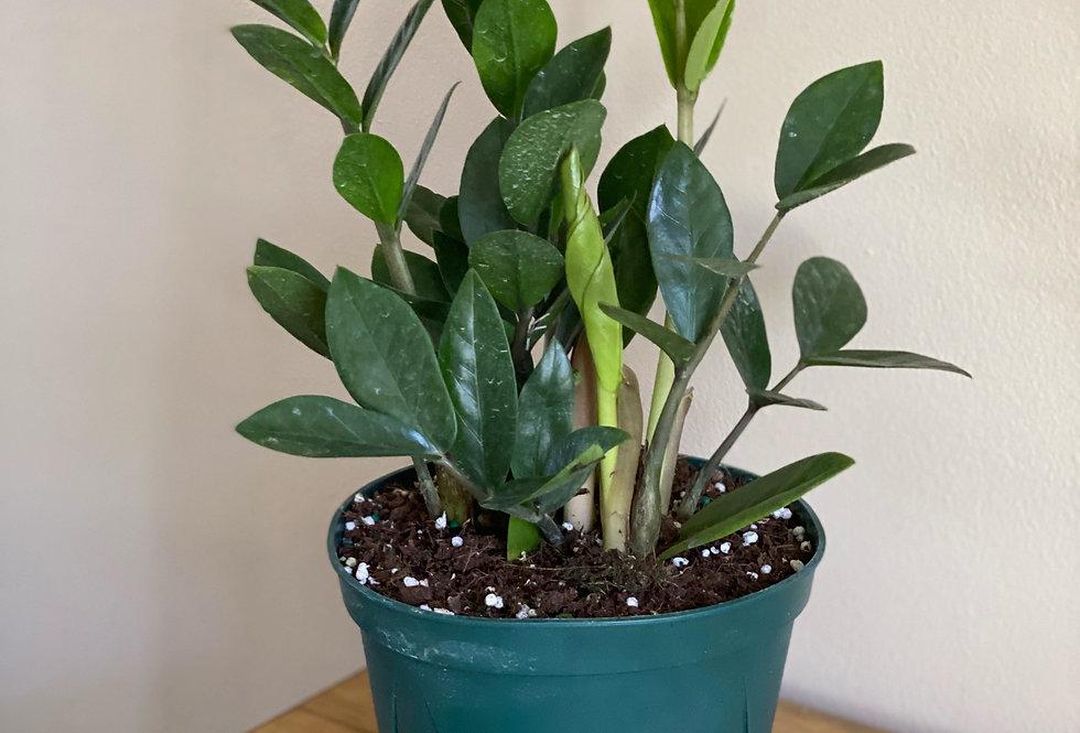 """Indoor Plants (6"""" Pot)"""