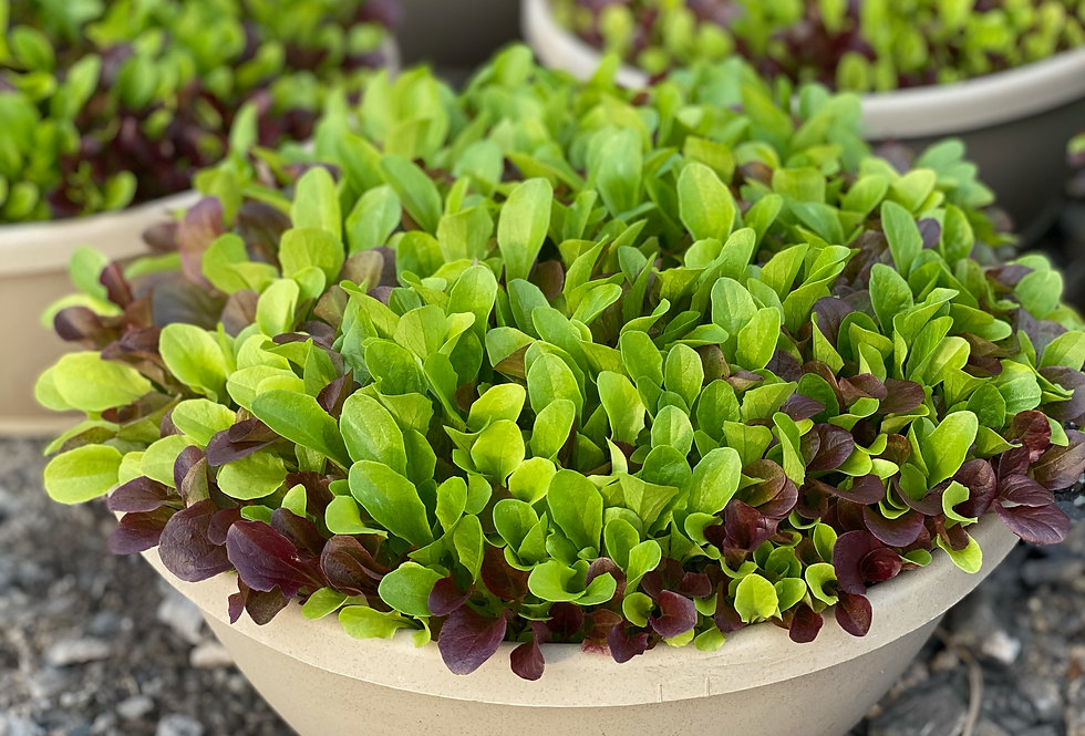 "Salad Bowl/Lettuce Mix (12"")"