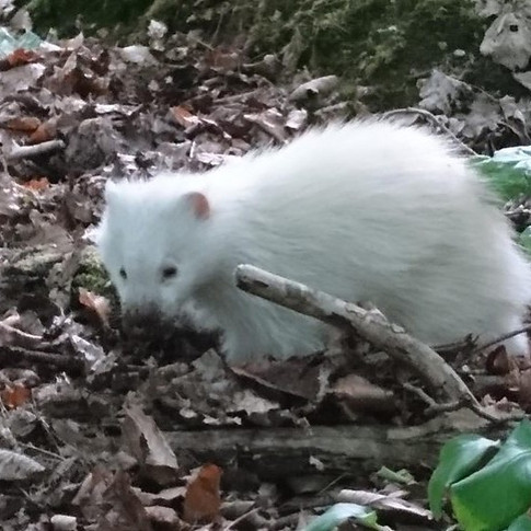 Albino badger spotted in Cliveden